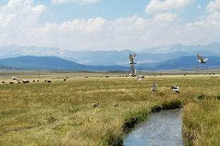 Sage Grouse and Grazing in Mono County